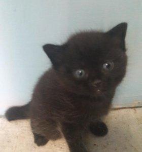котенок от шотландской Кошки