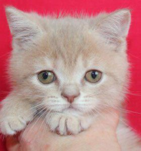 Тиша - котёнок скоттиш-страйт