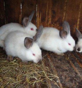 крольчата калифорнийской породы