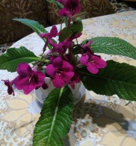 Комнатные цветы-стрептокарпус