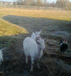 Продам козу 7.000 хохлатых петухов .возможна