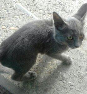 Кошка порда корат возраст приблизительно 5 месяцев