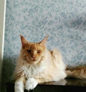 Великолепный кот мейн кун