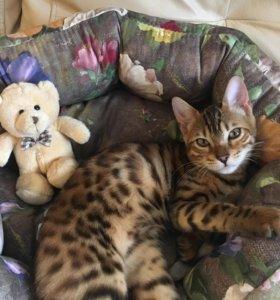 Бенгальская кошка с родословной и документами