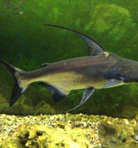 Акулий сом пангасиус-50см. Птеригоплихт -40 см