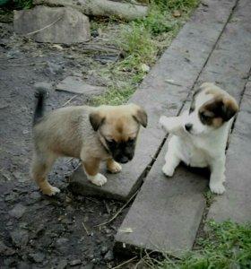 Щенки, от маленькой собаки