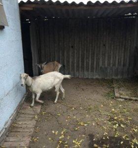 Продаю козу Ламанча котная