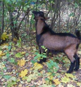 Чешский козел для вязки