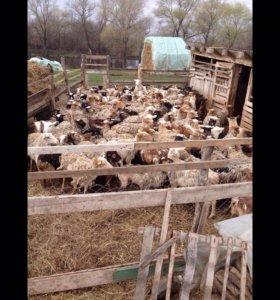 Продаю баранов, коз, телят, бычков