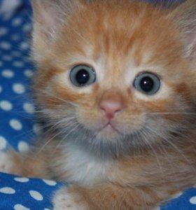 Котенок в добрые руки Фокс, кот в дар