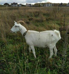 Продам зааненско-чешскую дойную козу после первого