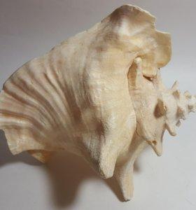 Раковина океанская.24 на 22 см.