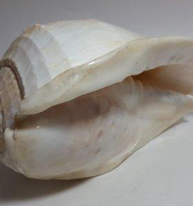 Ракушка океанская.Раковина морская.19 на 10 см