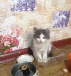 Котята от Шатланской кошки