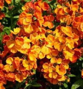 Лакфиоль,садовый цветок