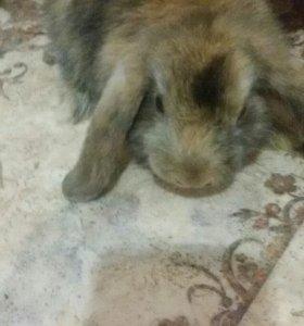 Кролики. Вислоухий карликовый баран.