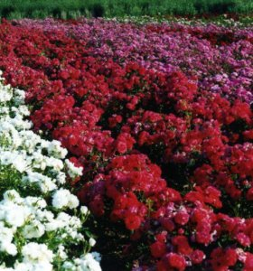 Саженцы роз и плодово ягодных деревьев