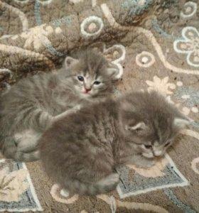 Коты британцы в новокузнецке