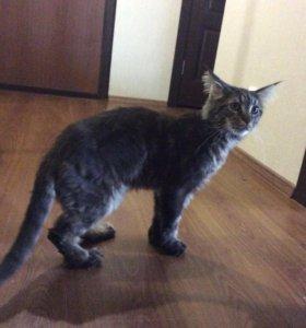 Продаётся годовалый кот мейнкун