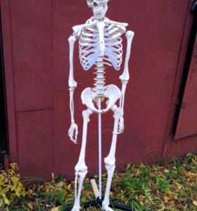 Скелет человека 1,60 м (анатомическое пособие)