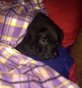 Мальчик лабрадора черного окраса.