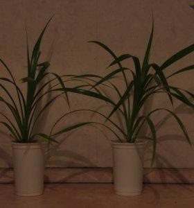 Продам отростки пальмы