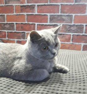 Британский котенок. Мальчик