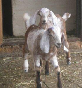 Продаются козлята нубийской и зааненской породы