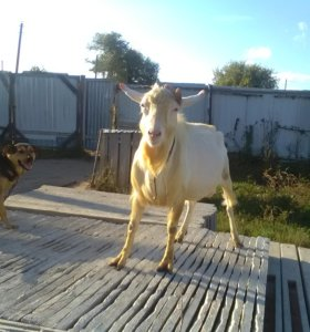 Зааненский козёл