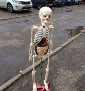 Скелет (полный аналог организма )