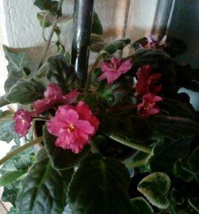 Фиалка розовая (детка)