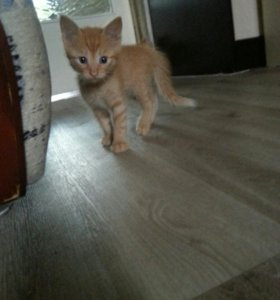 Вислоухий кот в саратове