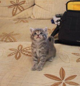 Серенький котенок мальчик