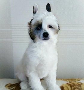 Очаровательный щенок Китайской хохлатой собаки