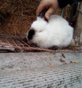 продаю кролей