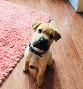 Продам умного щенка Шарпея