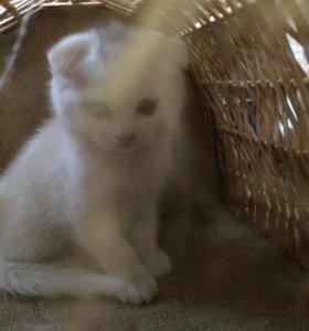Белые вислоухие котята