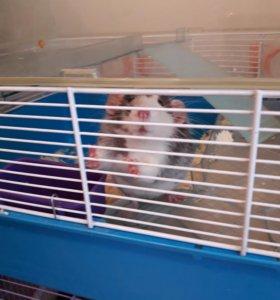 Крысы бесплатно