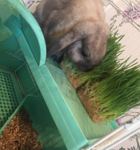 декоративный кролик мальчик
