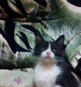 Котята от мейн-куна