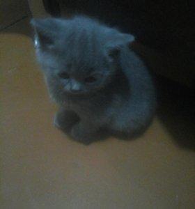 продам котят бртанские