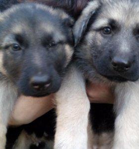 Продаются щенки!