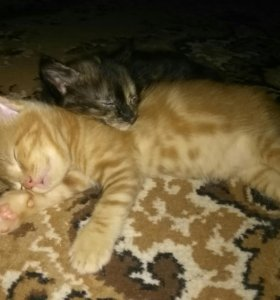 Котята (мама породы мейн-кун)