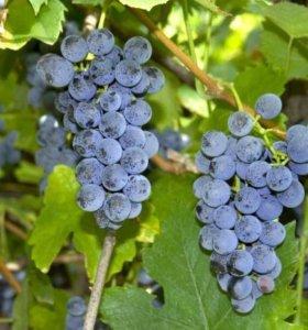 Продам виноград Изабелла