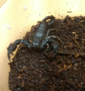 Настоящий скорпион.