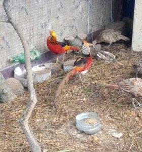 Продается фазан