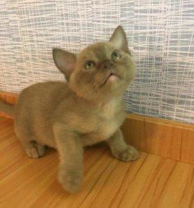 Продам котят породы бурма