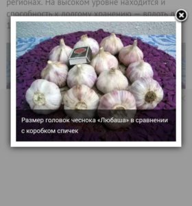 Продается семена чеснока Любаша