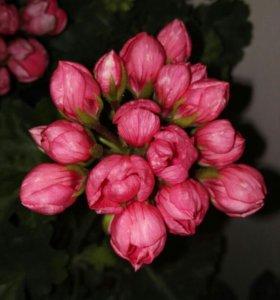 Cортовые пеларгонии( Розебудные, Звездчатые, Тюльп