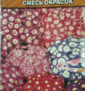Комнатный цветок цинерария